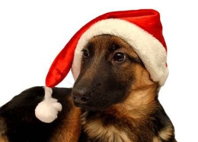 64032779-german-shepherd-dog-with-a-cap-of-santa-claus-isolated-on-white-background883086141960420906.jpg